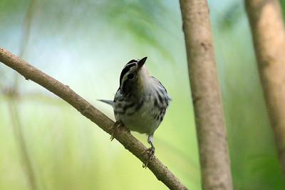 Frontera Audubon Sanctuary-Weslasco, TX 04/25/2009