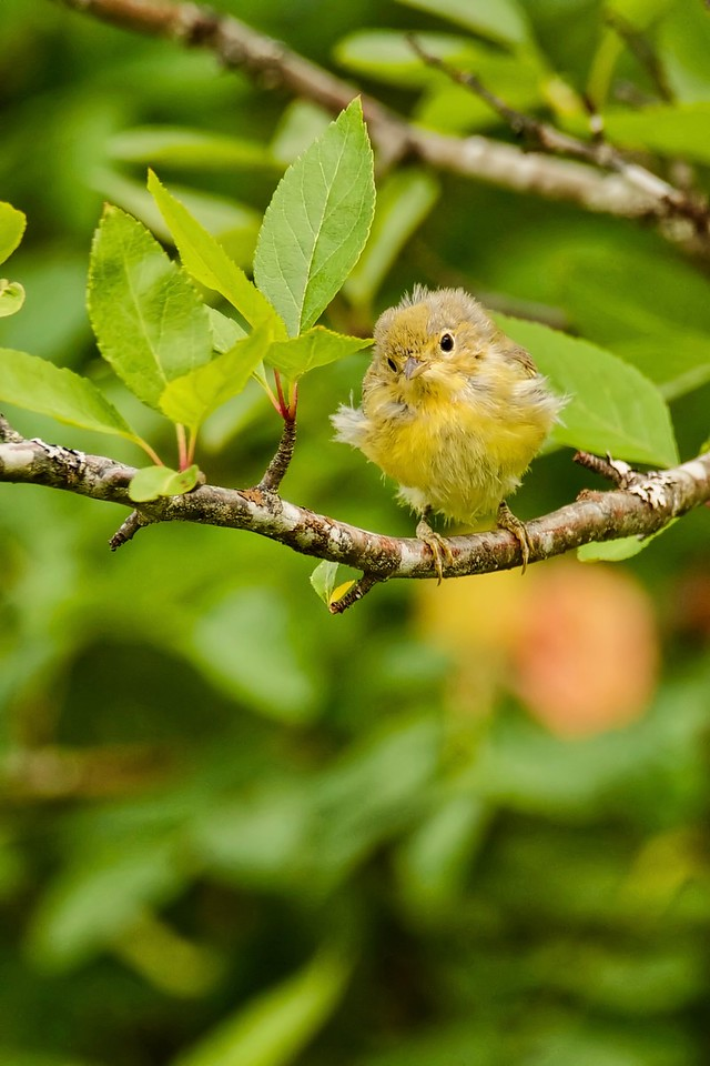 Common Yellowthroat fledgling