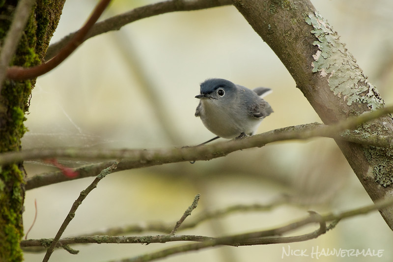 Gnatcatcher looking for nesting webs