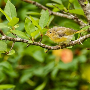 Common Yellowthroat fledgling