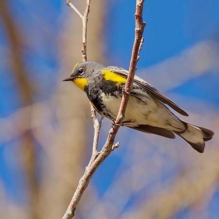 Yellow-rumped Warbler (audubons)