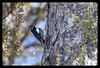 Male Williamson's Sapsucker
