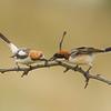 Woochat shrike חנקן אדום ראש