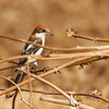 Woodchat shrike חנקן אדום ראש