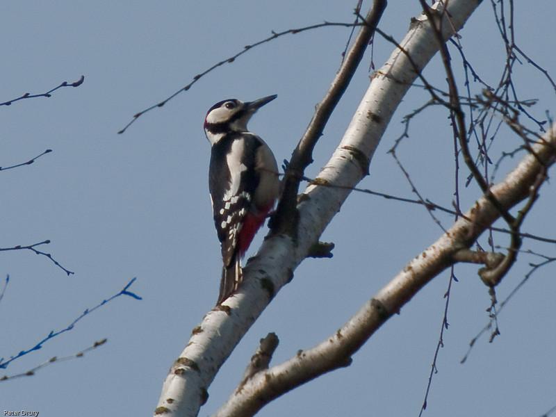 Great Spotted Woodpecker (Dendrocopos major). Copyright 2009 Peter Drury<br /> Wisley, Surrey