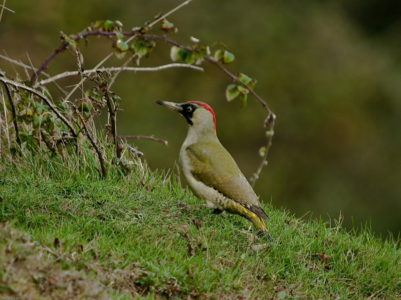 Green Woodpecker (Picus viridis). Copyright 2009 Peter Drury