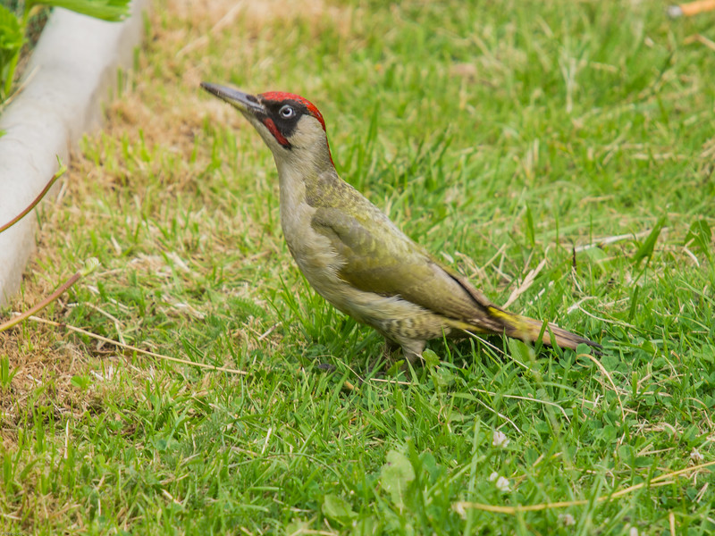 01 May 2015 Green Woodpecker