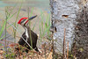 Pileated Woodpecher (b30726)