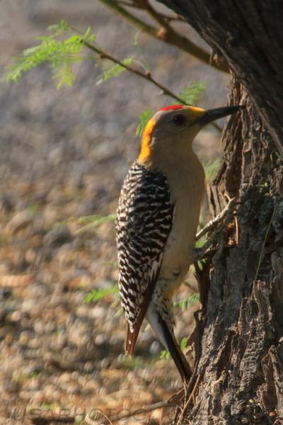 Golden Gronted Woodpecker (b3041)