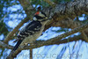 Downy Woodpecker (b3021)