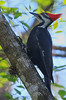Pileated Woodpecher (b30725)