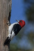 Red Headed Woodpecker (b3102)