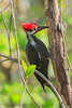 Pileated Woodpecher (b30724)