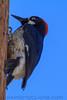 Acorn Woodpecker (b3002)