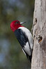 Red Headed Woodpecker (b3103)