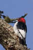 Red Headed Woodpecker (b3101)