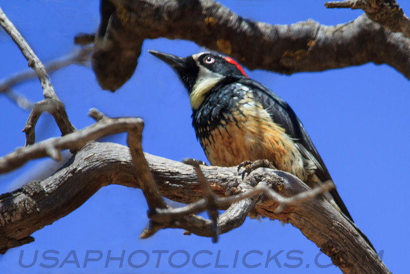 Acorn Woodpecker (b3001)