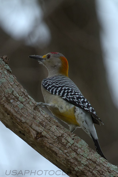 Golden Gronted Woodpecker (b3042)