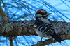Downy Woodpecker (b3022)