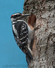Hairy Woodpecker (b3051)