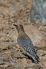 Gila Woodpecker (b3033)