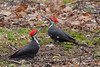 Pileated Woodpecher (b30723)