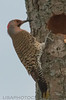 Northern Flicker (b0621)