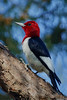 Red Headed Woodpecker (b3106)