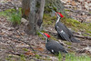 Pileated Woodpecher (b3072)