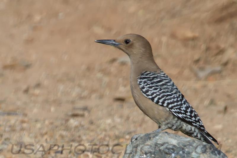 Gila Woodpecker (b3032)