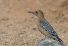Gila Woodpecker (b3032)