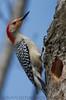 Red Bellied Woodpecker (b3081)