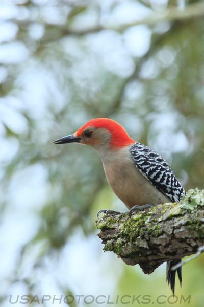 Red Bellied Woodpecker (b3082)