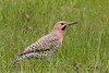 Northern Flicker (b0622)