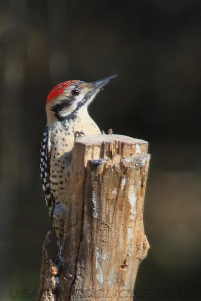 Latter Backed Woodpecker (b3064)