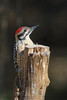 Latter Backed Woodpecker (b3064)