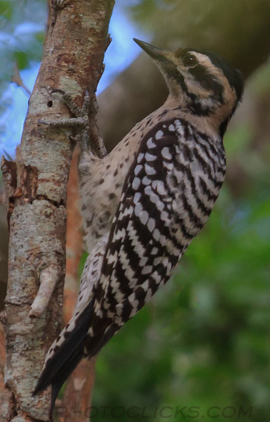 Ladder Backed Woodpecker (b3066)