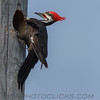 Pileated Woodpecker (b3077)