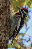 Yellow Bellied Sapsucker (b1921)