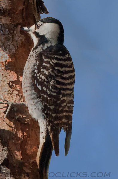 Red Cockaded Woodpecker (b3091)