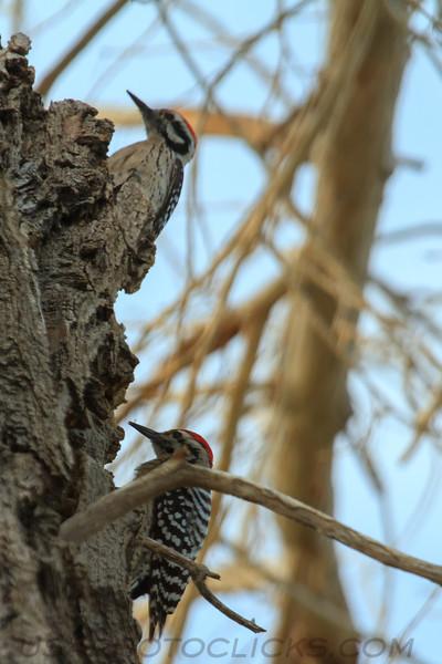 Latter Backed Woodpecker (b3063)