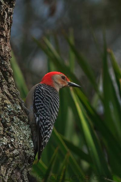 Red Bellied Woodpecker (b3083)