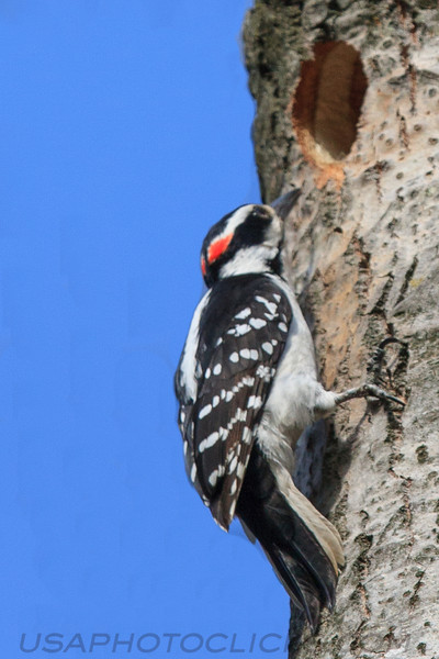 Hairy Woodpecker (b3052)