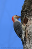 Red Bellied Woodpecker (b3084)
