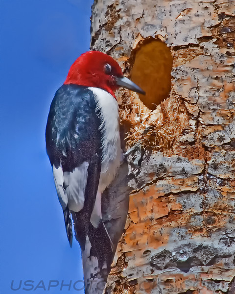 Red Headed Woodpecker (b3105)