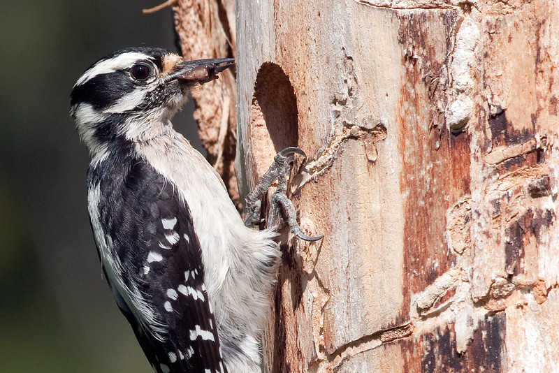Downy Woodpecker'