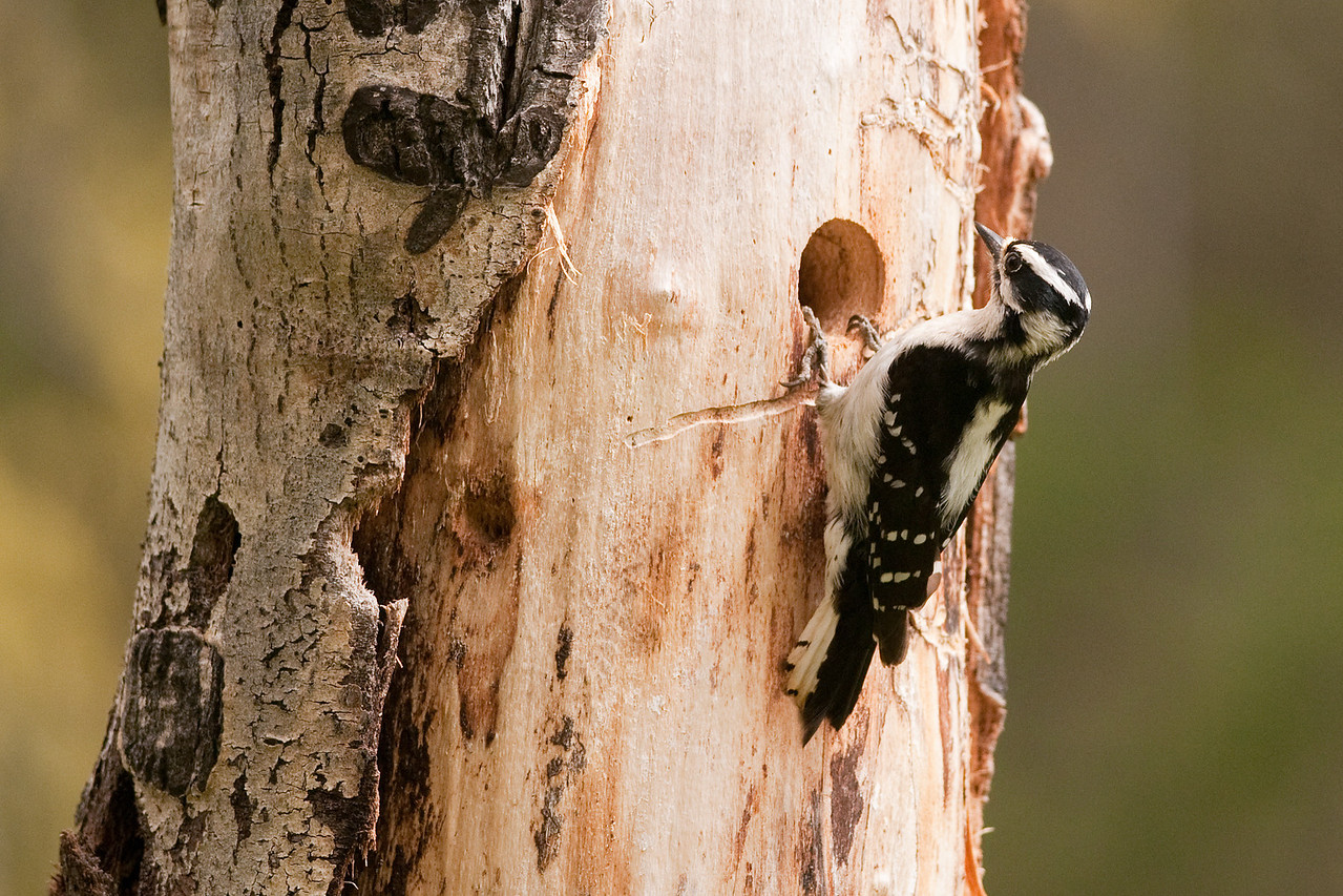 Downy Woodpecker, Ahtanum