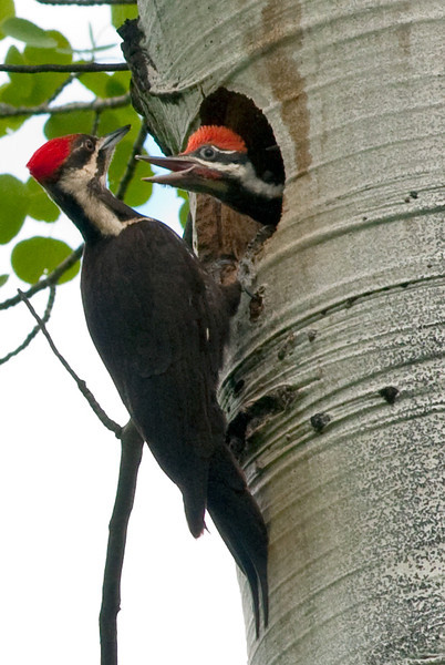 Pilliated Woodpecker, Ahtanum, June