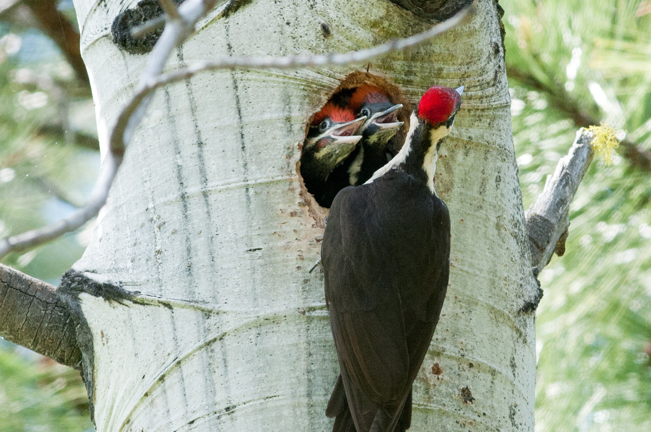 Pillieated Woodpecker with chicks. Nest is in an Aspen tree. Chicks fledged a couple days later.