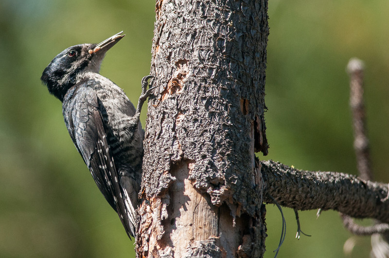 Black-backed Woodpecker near Bethel Ridge along the Tieton River, Washington. Note the bill filled with grubs.